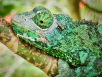 A close look at a shedding chameleon