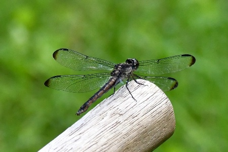 Dragon Fly Passing By