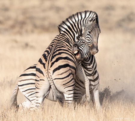 Zebras Still Fighting