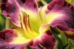 Stunning Day Lily