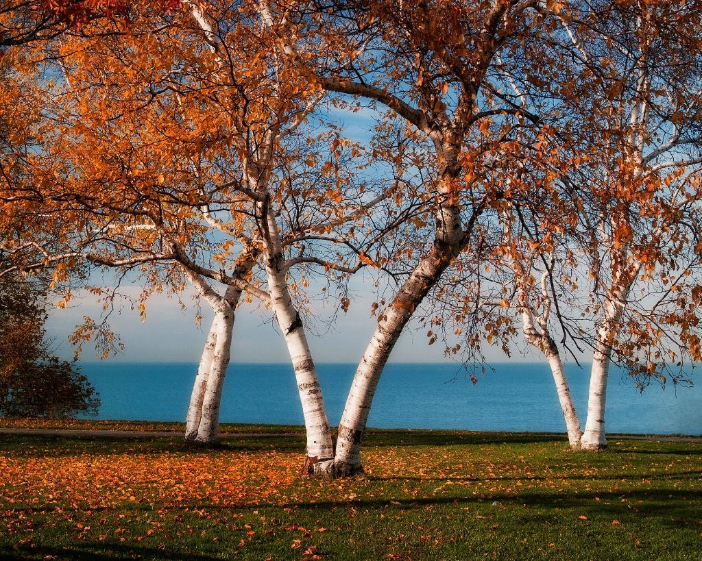 Autumn Birches - ID: 15615878 © Susan Johnson