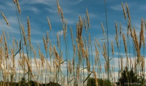 Grasses and sky
