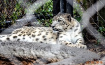 Snow Leopard, framed by the fence.