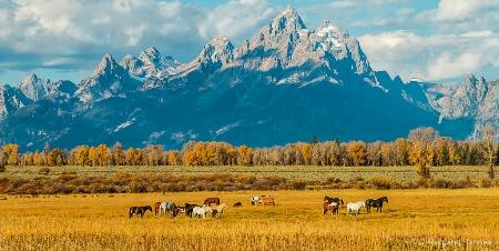 Wild Horses in Tetons