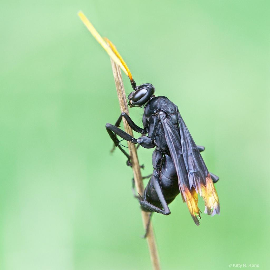 Darth Vader Like Spider Wasp - ID: 15616394 © Kitty R. Kono