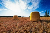 Yellow Bales On The Early Autumn Fields