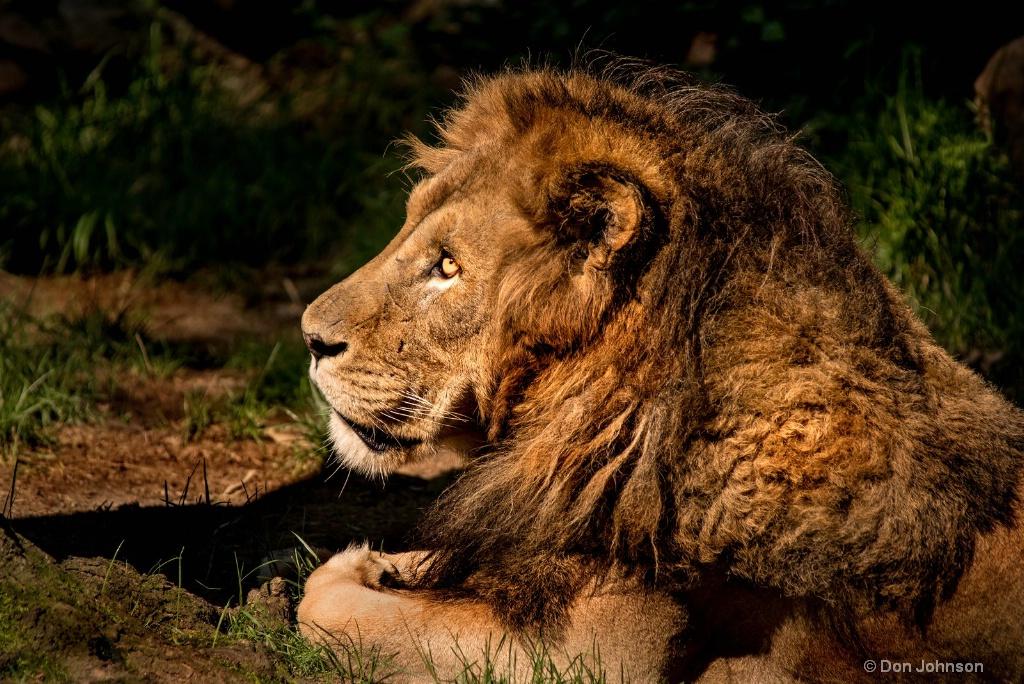 Male Lion Profile 3-0 F LR 8-5-18 J058 - ID: 15617554 © Don Johnson