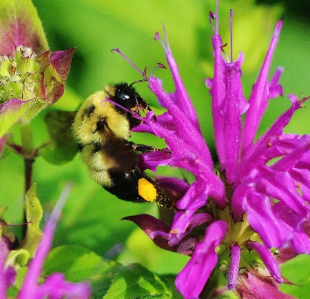 Mr. Bumble on Beebalm
