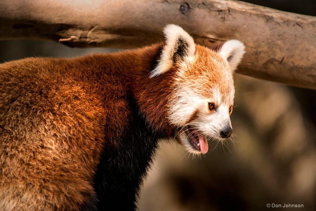 Red Panda at NZ 3-0 F LR 8-26-18 J017 - ID: 15619003 © Don Johnson
