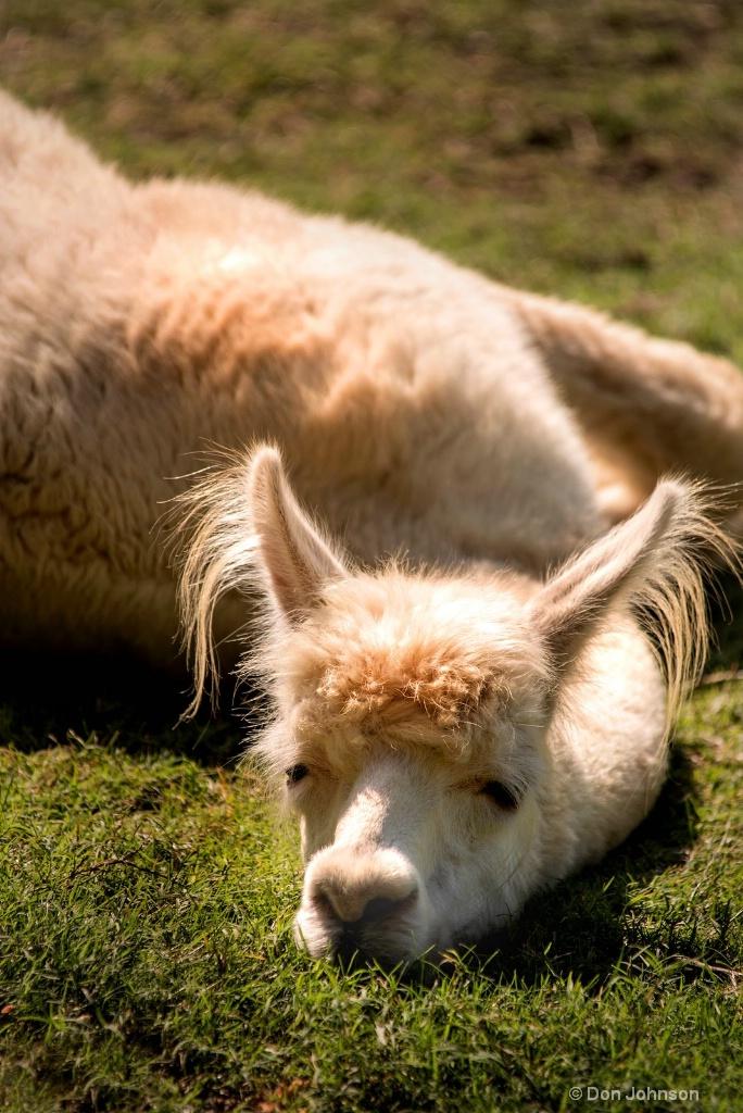 Tired Llama 3-0 F LR 8-26-18 J099 - ID: 15619708 © Don Johnson
