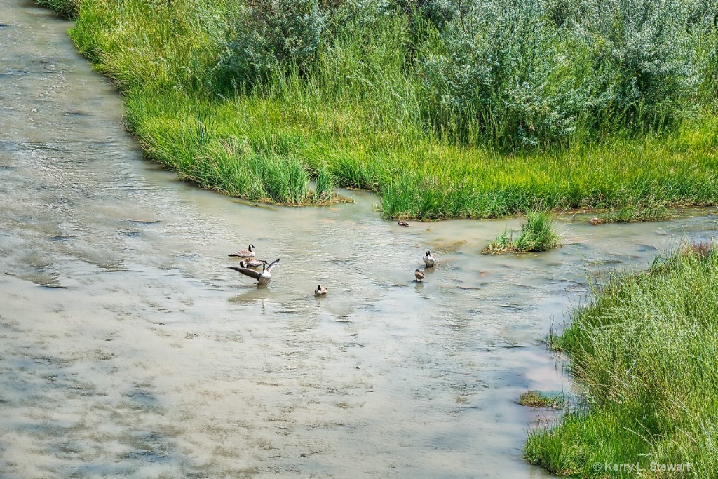 Playful Geese - ID: 15620900 © Kerry L. Stewart