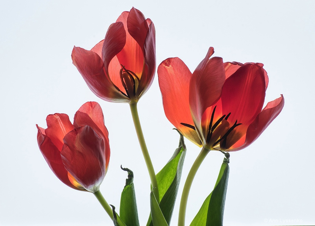 Red Hot Tulips - ID: 15621787 © Ann Lyssenko