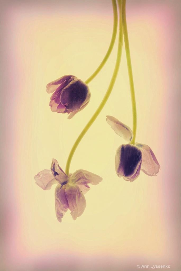 Tulips Just Hanging Around - ID: 15621814 © Ann Lyssenko