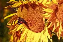 European Peacock On A Sunflower