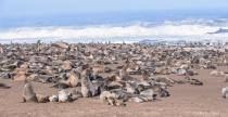 A whole lot of Cape Fur Seals