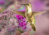 Hummingbird Taking Flight