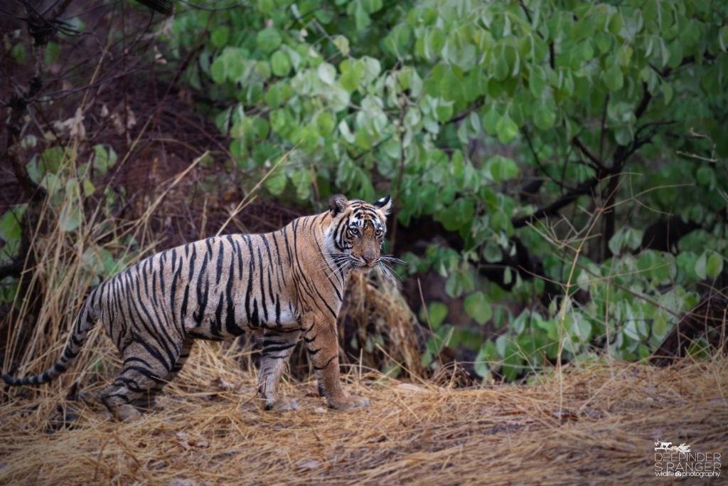 Tigress in zone : 2