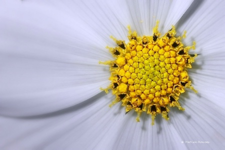 White & Yellow Cosmos