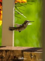 Hummingbird 2018-0916 -2343