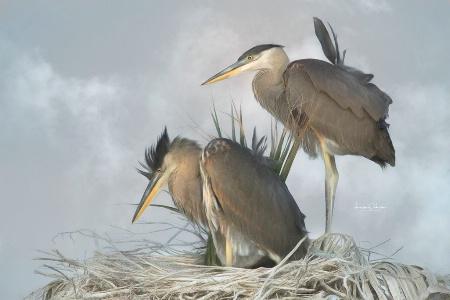 Sibling Blue Herons