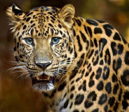 Amur Leopard Smiles