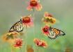 Butterflies for J...