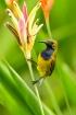 male sunbird