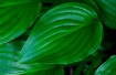 Hosta Green