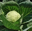 Cabbage After a S...