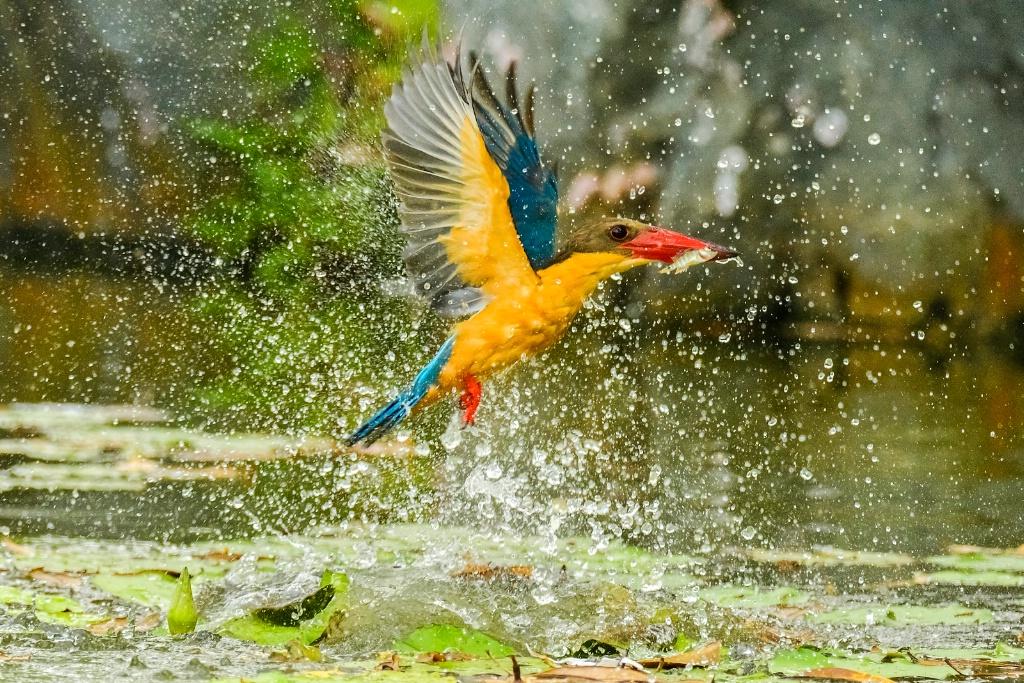 Stockbill kingfisher