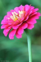 Pink Zinnia 2