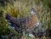 Spruce Grouse in ...
