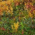 © Bonnie L. Smith PhotoID # 15633512: Ferns in Fall
