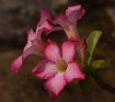 Adenium with drop...
