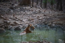 Alpha male tiger of zone:6 enjoying a cool dip !