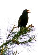 Early morning birdsong.