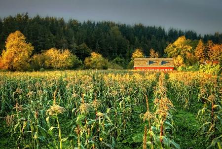 Sweet Corn in Fall