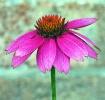 More Pink Echinac...