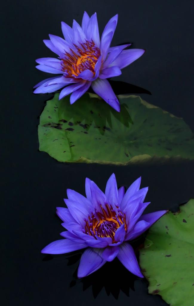 Purple Waterlilies