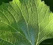 Leaf Texture Macr...
