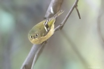 Eye Contact with the Ruby Crowned Kinglet