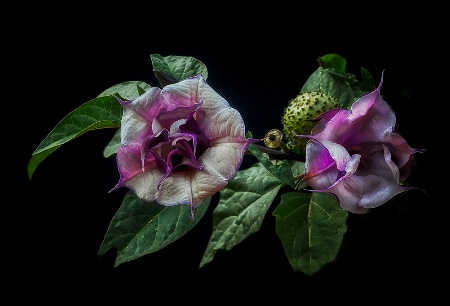 Delicate Datura Blossom