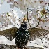 © Peter Tomlinson PhotoID# 15640481: Starling and Cherry Blossoms