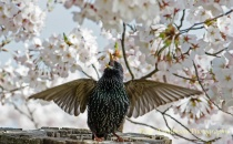 Starling and Cherry Blossoms