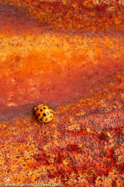 Ladybug and Rust - II - ID: 15640605 © Marilyn Cornwell