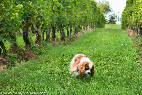 Dezi at Legends Winery - ID: 15640631 © Marilyn Cornwell