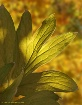 Peony Leaves in A...