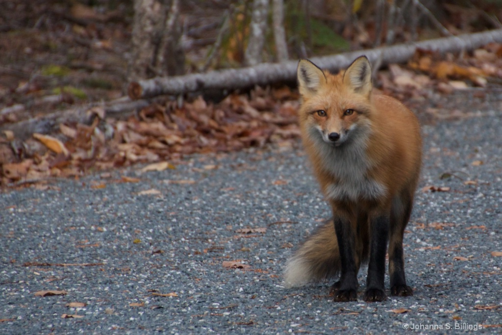 Fox - ID: 15640935 © Johanna S. Billings