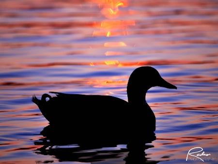 Mallard Sunset Silhouette