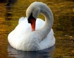Swan in Fall Wate...